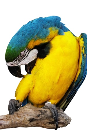 parot: alone colorful parrot is cleaning  it wool