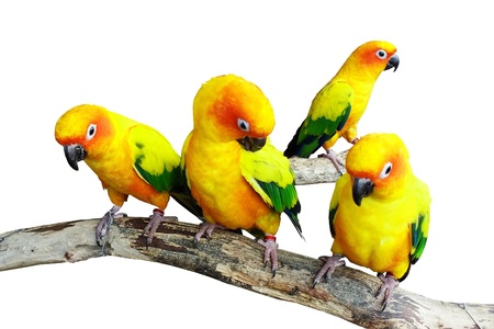 Three parrot are standing on branch