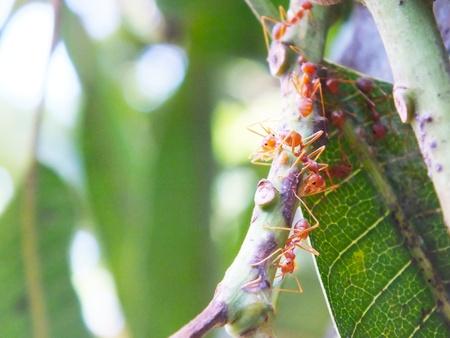 industrail: Ants show the teamwork on the mango tree Stock Photo