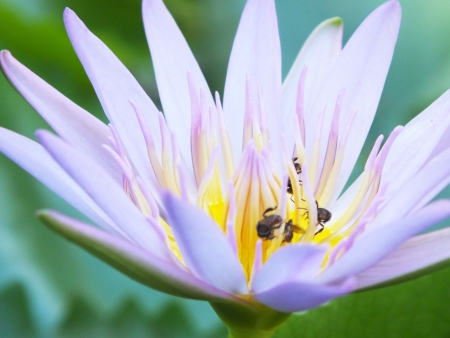 Blooming of lotus with the bees   photo