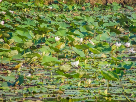 rivulet: Many lotus in the river   Stock Photo