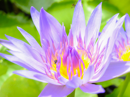 lotus are blooming with sunshine. photo