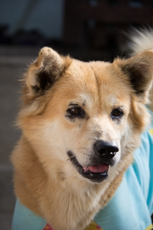 beautiful Bangkeaw Thai dog photo