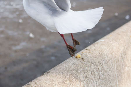 forage: seagull is forage on fence