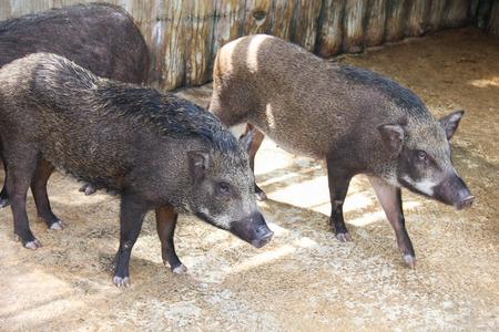 scrofa: Boar in the wildlife .