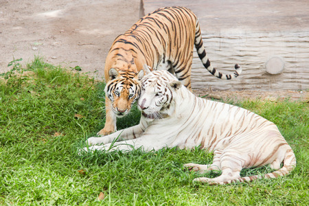 snuggle: White tiger and orange tiger are snuggle