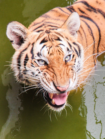 threatened: Face of tiger is swimming in the river and threatened