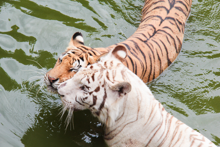 snuggle: hite tiger and orange tiger are snuggle .