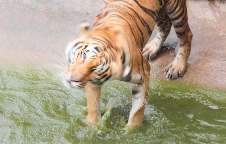 flicking: Tiger is flicking the water Stock Photo