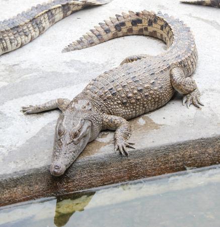 crocodile in the zoo photo