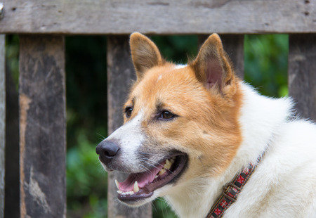 specie: Thai dog specie Bangkeaw