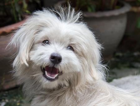 specie: face of Thai dog specie Shih tzu
