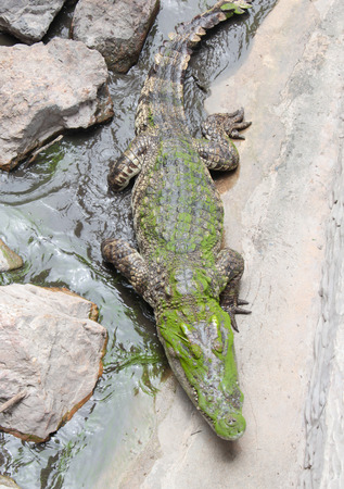 face and body of crocodile photo