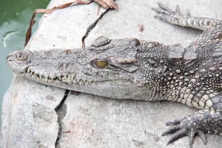 face of crocodile photo