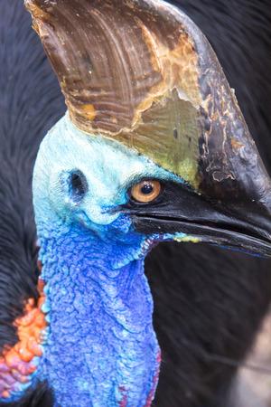 cassowary: Head of cassowary
