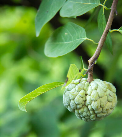 annona: Small Annona Stock Photo