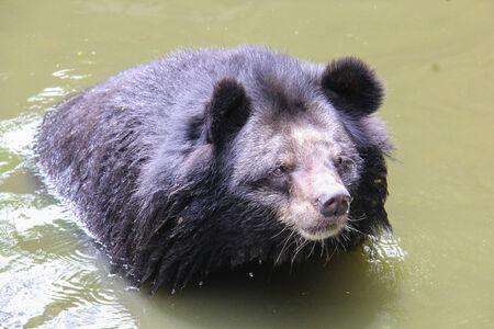 black bear: Orso nero nel fiume