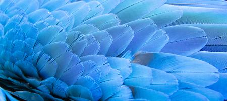 pluma: Azul de la pluma del Macaw