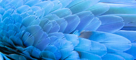feather: Blue of Macaw feather