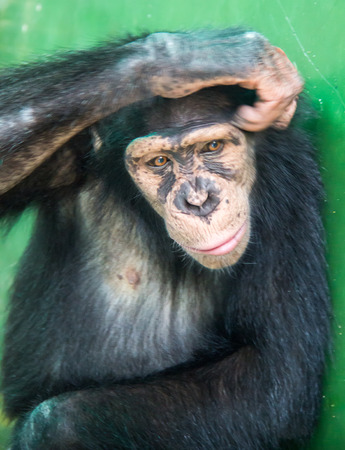 The Chimpanzee is scratching their head photo