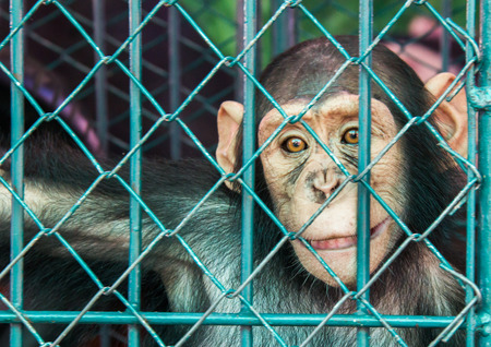 cage gorilla: Small Chimpanzee in the cage Stock Photo