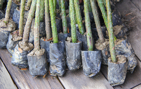 seeding: Mangrove seeding
