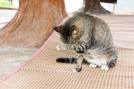 gourami: The cat striped Gourami from Thailand is licking their leg