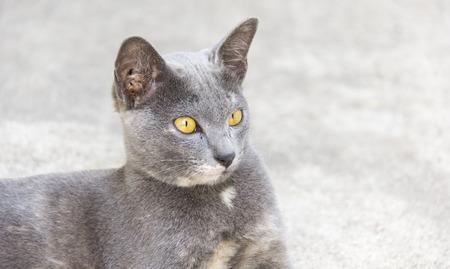 roan: Thai cat roan color