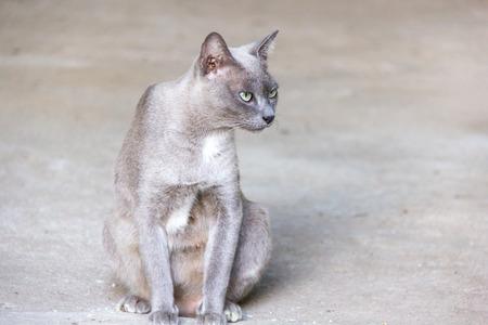 roan: Thai cat roan color is sitting