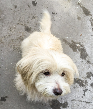 shih: Shih tzu dog Stock Photo