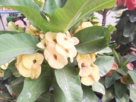 corona de espinas: corona amarilla de la flor de espinas Foto de archivo