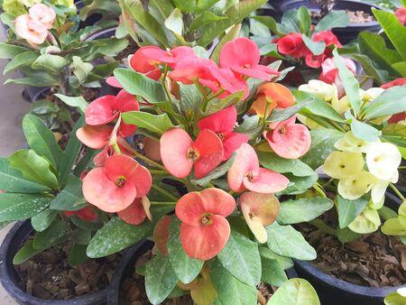 corona de espinas: Roja corona de espinas flores