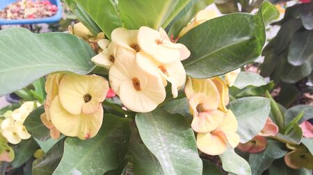 crown of thorns: yellow crown of thorns flower Stock Photo