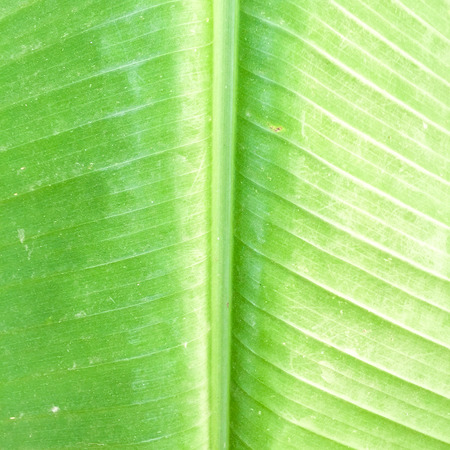 banana leaves: banana leaves texture