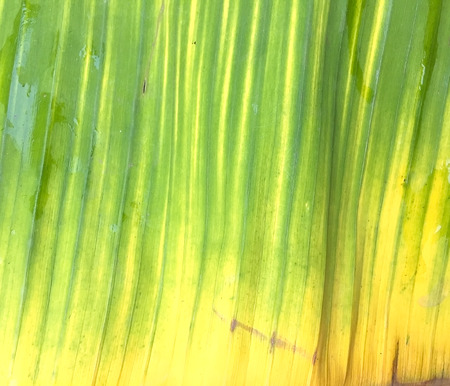 banana leaves: banana leaves texture background