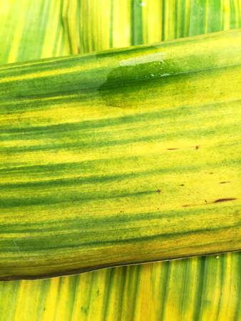 tigrato: Verde a strisce leaves texture