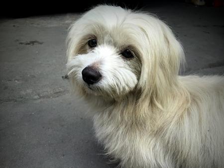 shih: Baby and small Shih Tzu dog