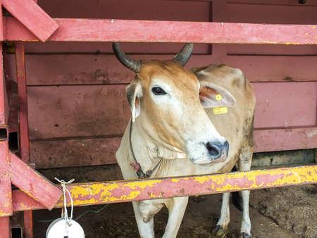 closeup cow face: Closeup face cow Stock Photo