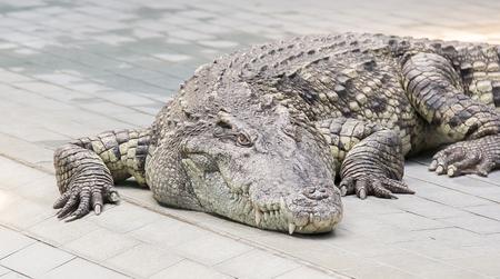 see through: Crocodile head see through here Stock Photo