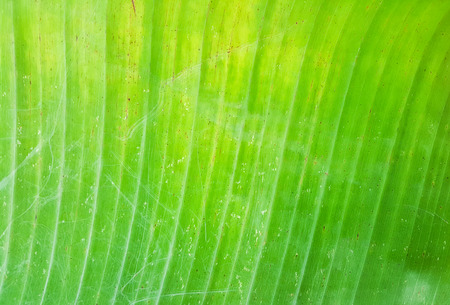 banana leaves: Old green banana leaves texture background