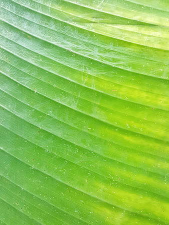 banana leaves: Green banana leaves