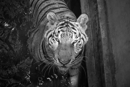 tigresa: tigre blanco y negro Foto de archivo