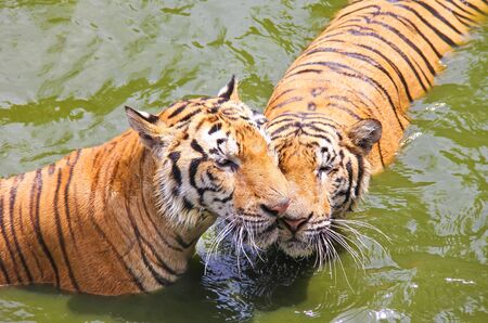 to tease: Tigers are teasing in the river