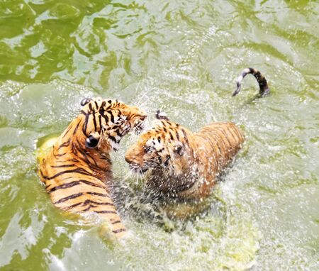teasing: Tigers are teasing in the river