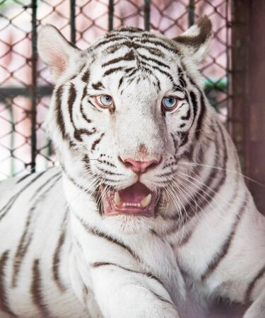 tigre blanc: Visage de tigre blanc Banque d'images