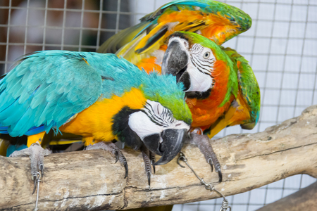 Macaw parrot is playing on the branch in the cage