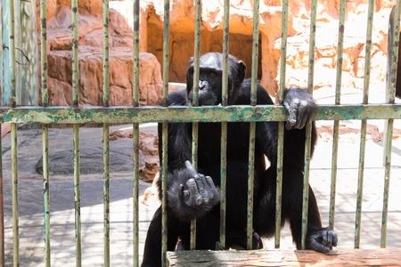 sciureus: Chimpanzee monkey in the cage