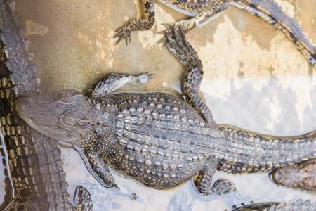 rafter: Baby crocodile are sleeping near the river wildlife