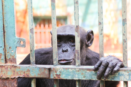 sciureus: Closeup chimpanzee monkey in the cage Stock Photo