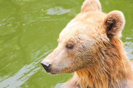 wet bear: Closeup brown bear in the river Stock Photo